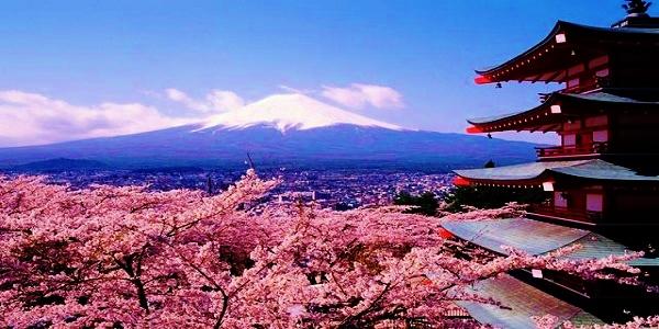 Sakura Cherry Blossoms of Spring