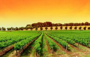 italian-vineyard-tuscany