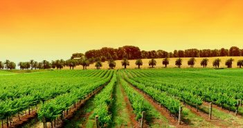 italian-vineyard-tuscany